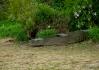 V pobřežních houštinách se ukrývají krokodýli..